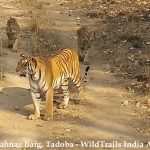 How to plan a Quick Tadoba Getaway just under 24 hours