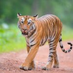 Tadoba Tigers and their Respective Numbers