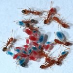 Know about Nesting of Pharaoh Ants